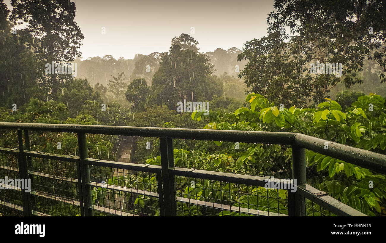 Canopy Walk In Sepilok Sabah the Malaysian part of Borneo. An early morning with fog. Rainforest trees. Picture taken from the high tower in the rai & Canopy Walk In Sepilok Sabah the Malaysian part of Borneo. An ...