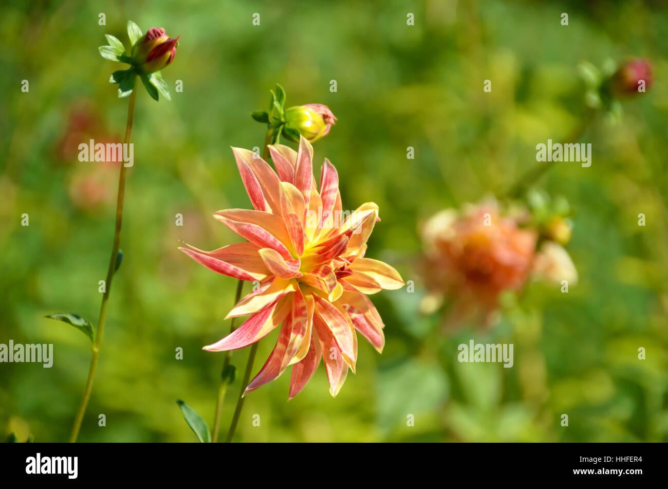 Garden, Plant, Dahlia, Gardens, Colour, Colors, Colours, Garden, Plant,  Flower
