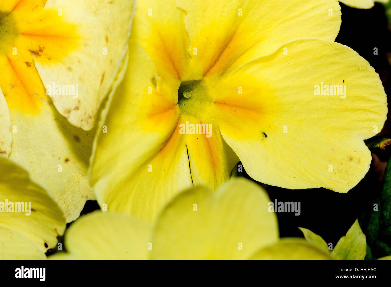 Pale yellow flowers with striped velvet textured petals close up pale yellow flowers with striped velvet textured petals close up mightylinksfo Choice Image
