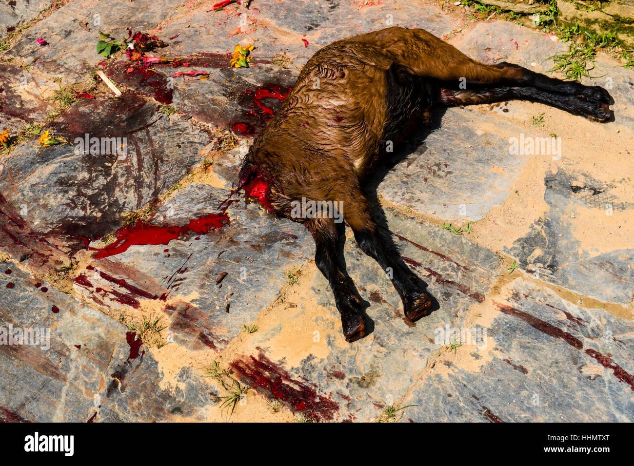 Corpse of a dead goat, sacrificed at the Khadga Devi ...