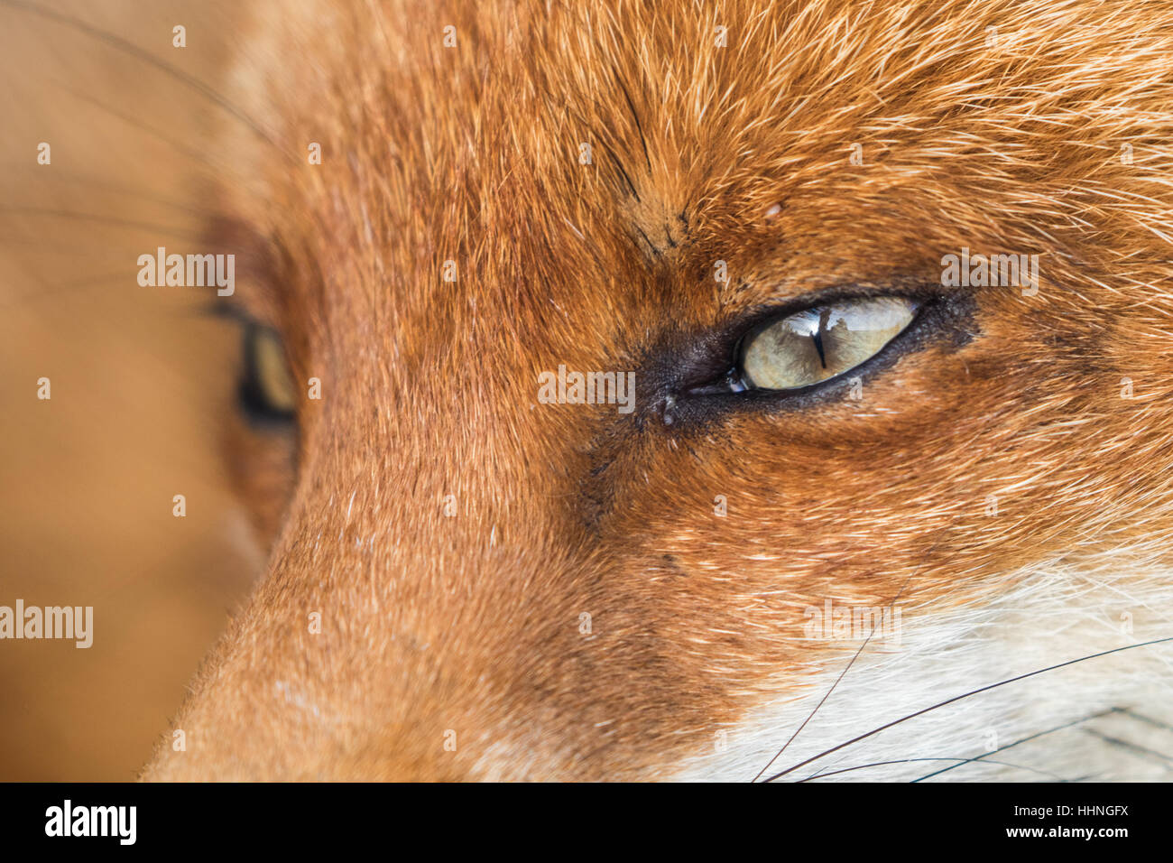 Red Fox ( Vulpes ) Close up of Face and Eye Stock Photo ...