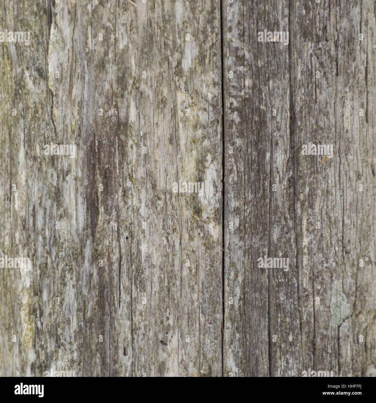 closeup background of weathered lichen covered cedar fence post shows grey and yellow and vertical cracks
