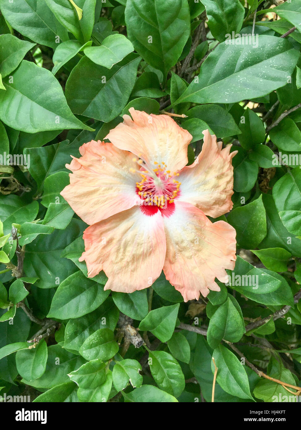 A hibiscus flowerhibiscus is malaysias national flower where its a hibiscus flowerhibiscus is malaysias national flower where its locally known as the bunga raya izmirmasajfo Choice Image