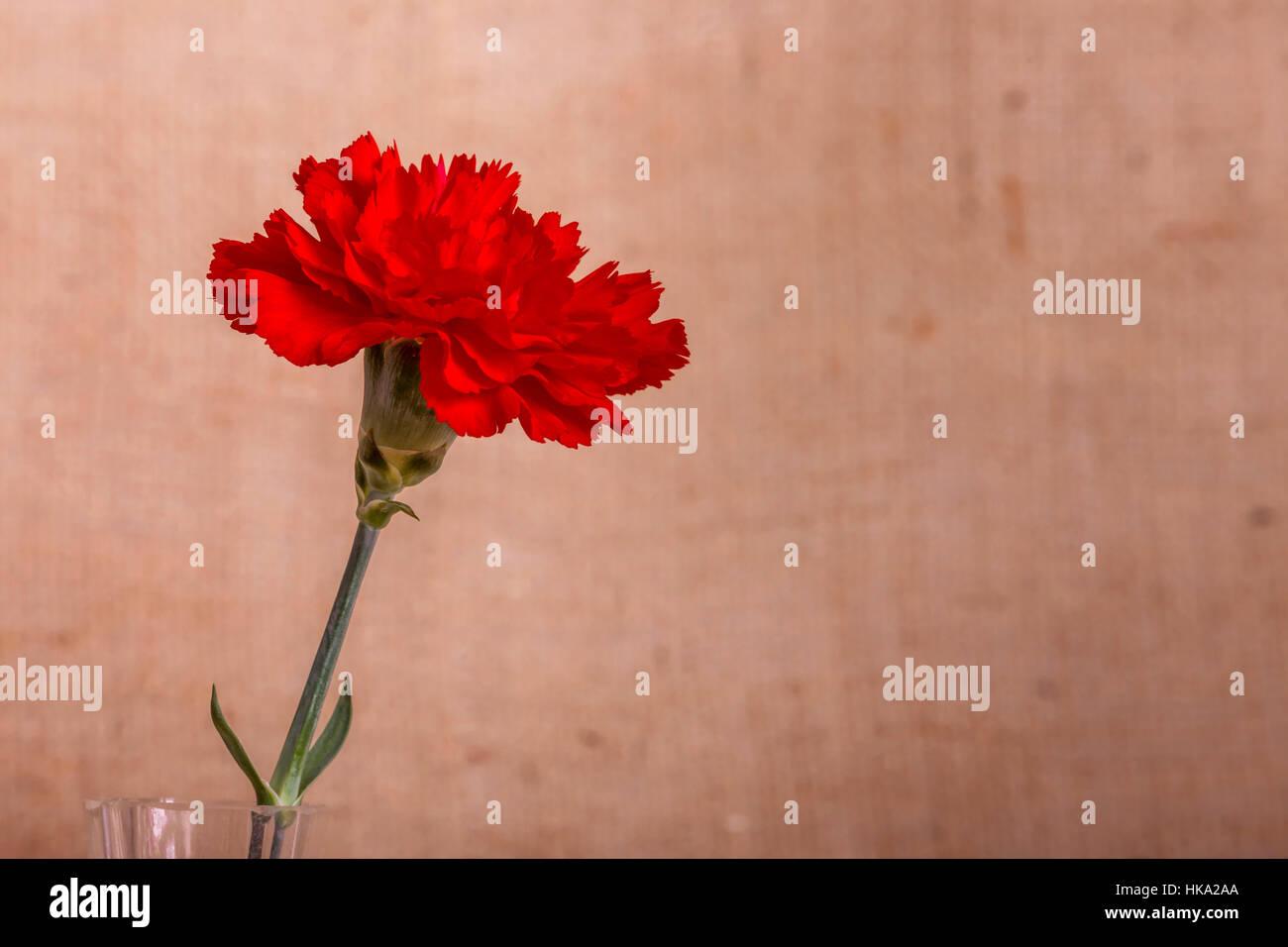 Single stem red carnation dianthus caryophyllus in a glass vase single stem red carnation dianthus caryophyllus in a glass vase reviewsmspy