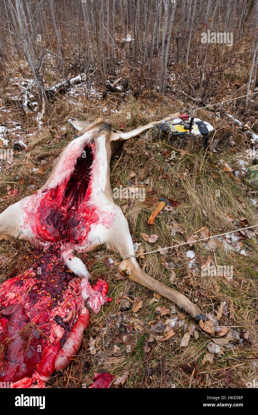 How to field dress a whitetail buck deer