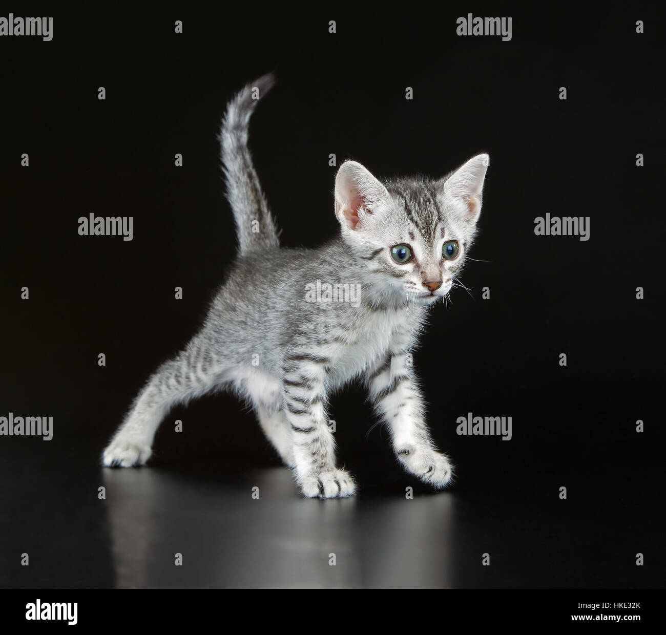 Silver Egyptian Mau Little Kitten Felis catus Naturally spotted