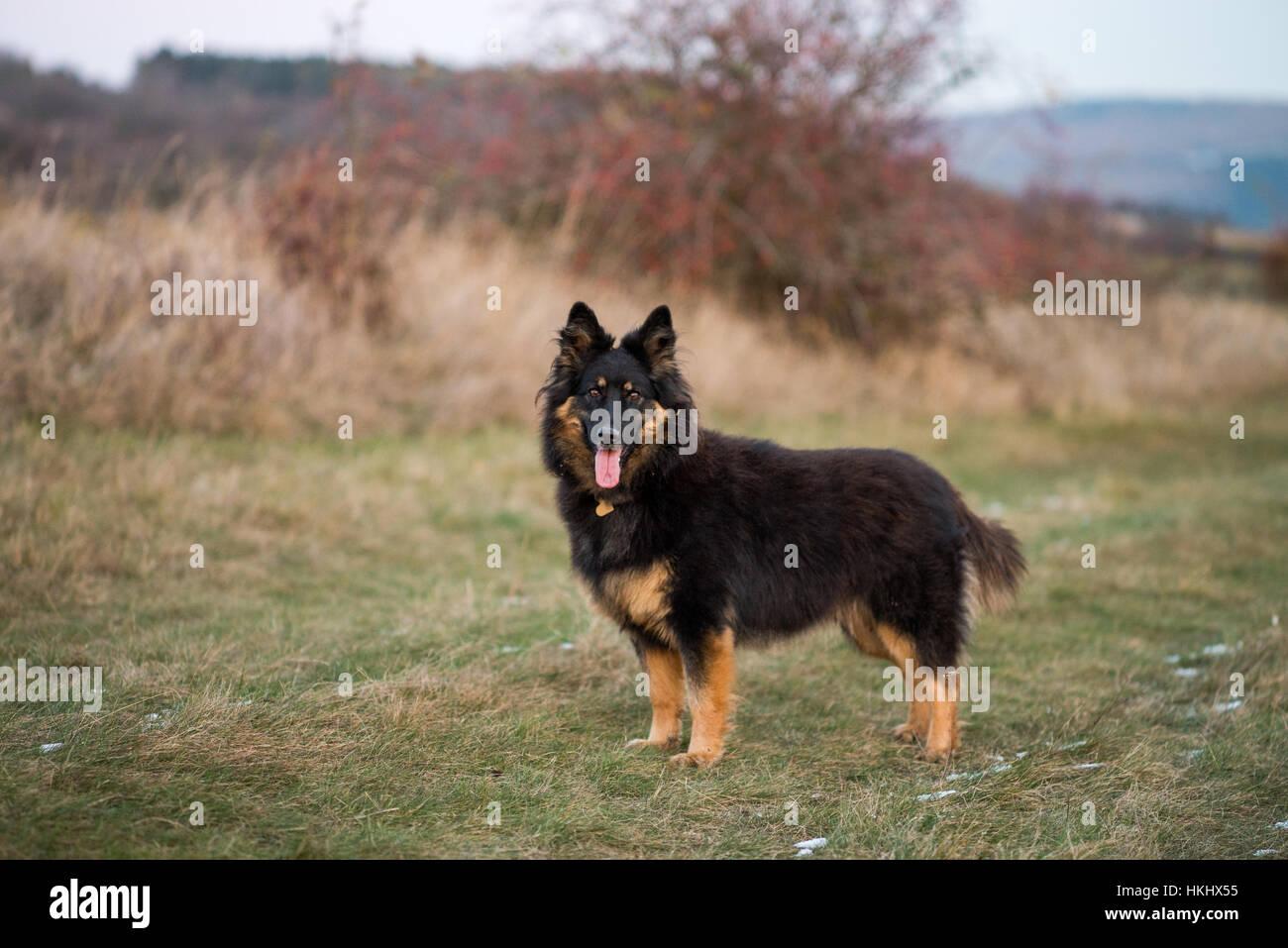 Chodsky pes Stock Photo, Royalty Free Image: 132544753 - Alamy