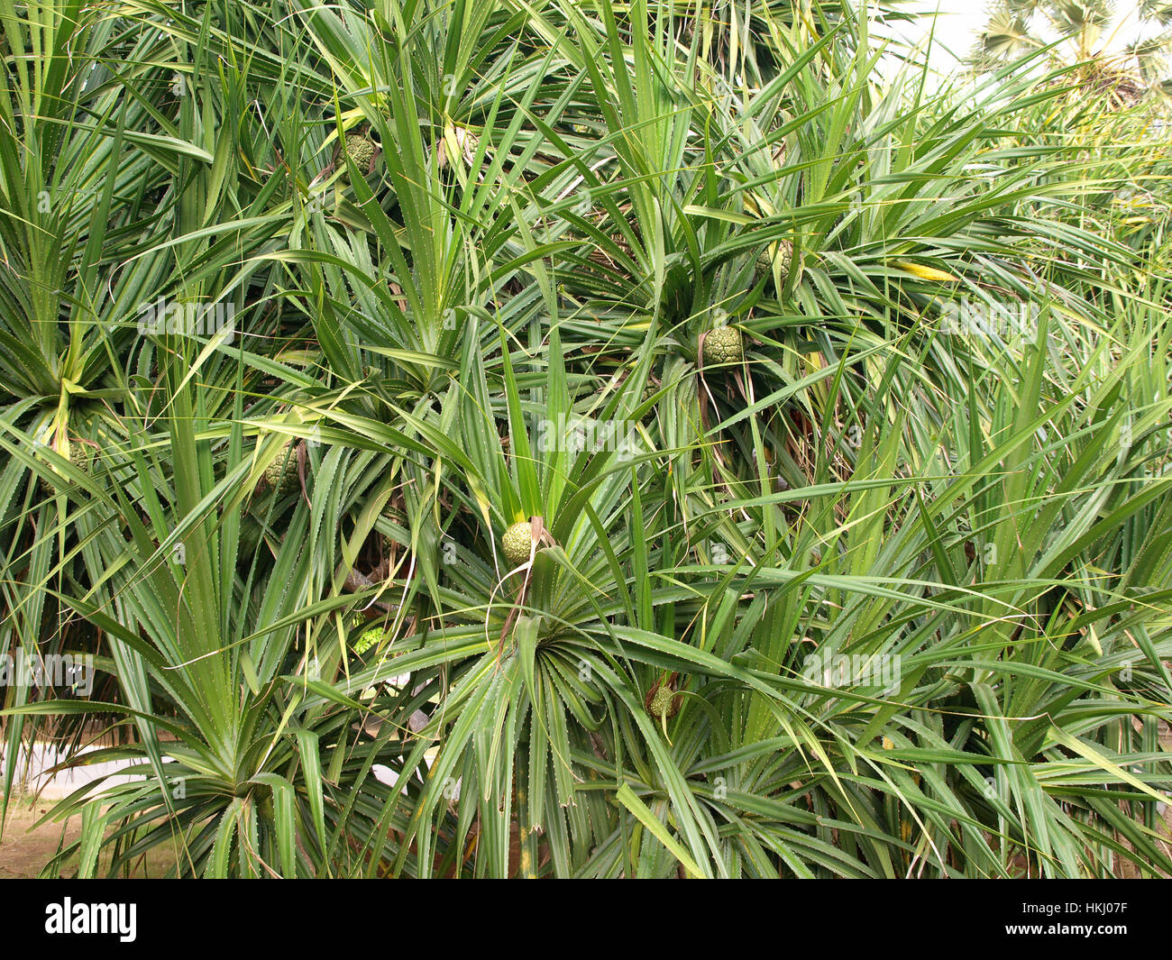 Pandanus trees are also known as Screw Pine grow in mangrove ...