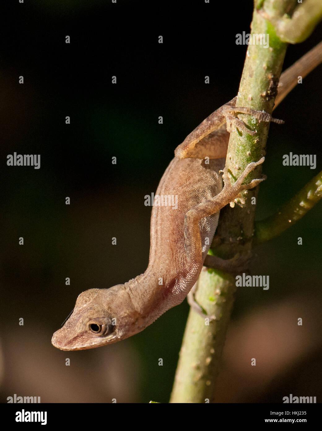 tropical house gecko (hemidactylus mabouia) on a branch stock