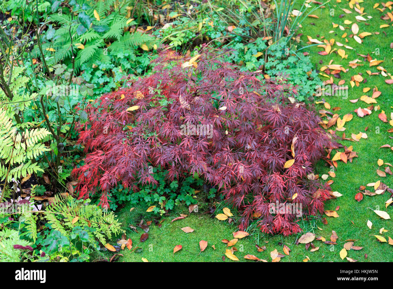 acer palmatum dissectum garnet japanese maple in autumn stock photo 132565937 alamy. Black Bedroom Furniture Sets. Home Design Ideas