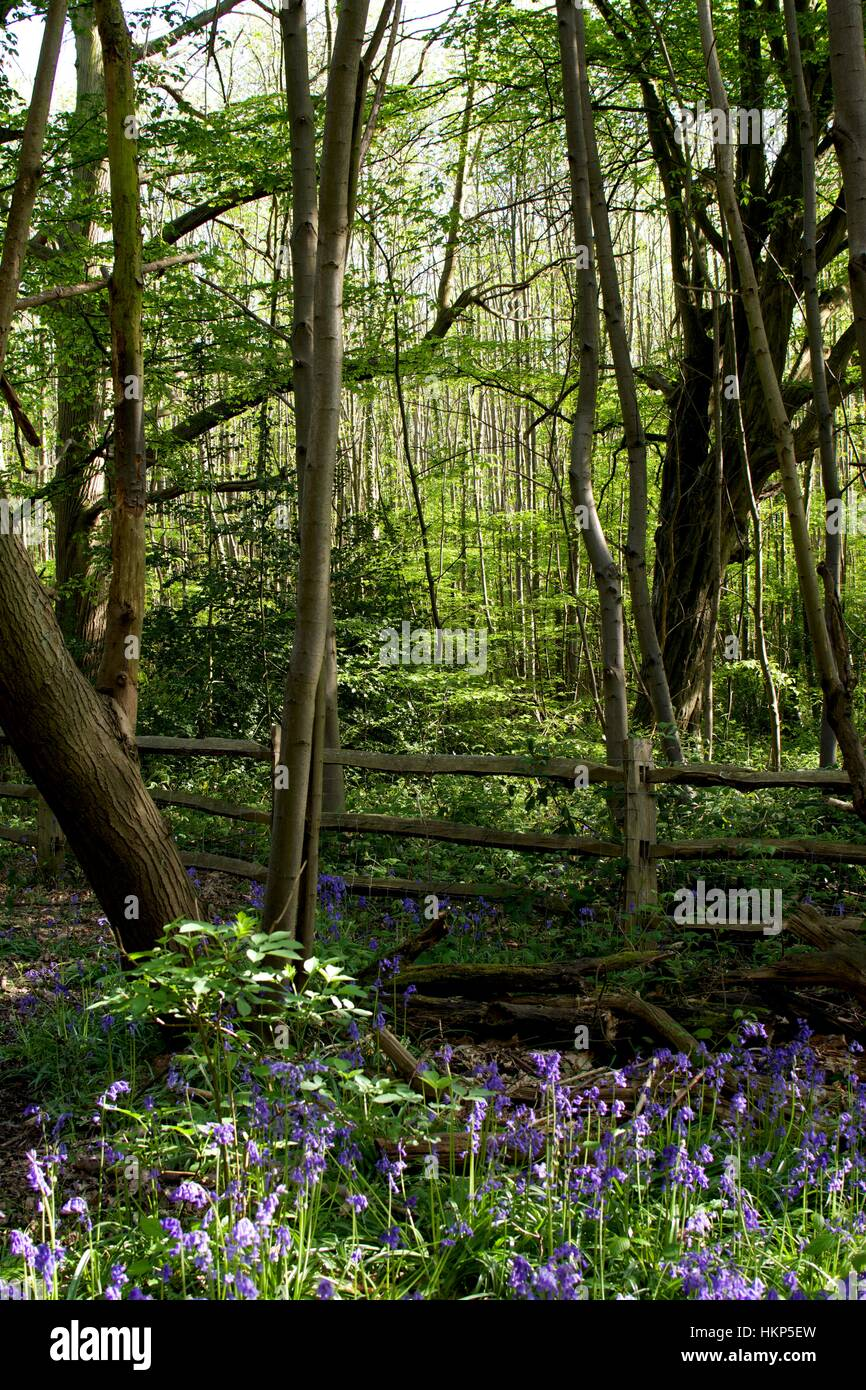 Trees with bright green foliage and Blue bells Stock Photo ...