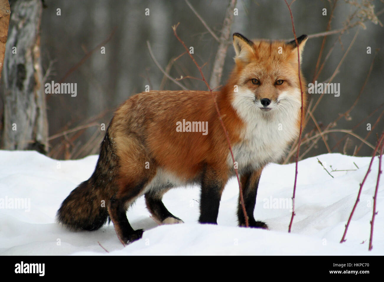 Best 25  Foxes ideas on Pinterest | Cute fox, Fox and Baby red fox
