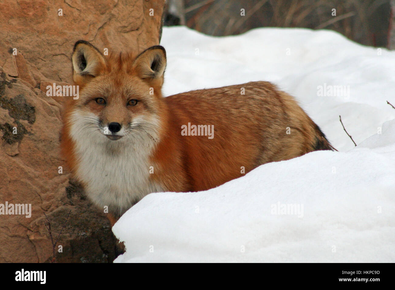 Beautiful red fox in her winter coat Stock Photo, Royalty Free ...