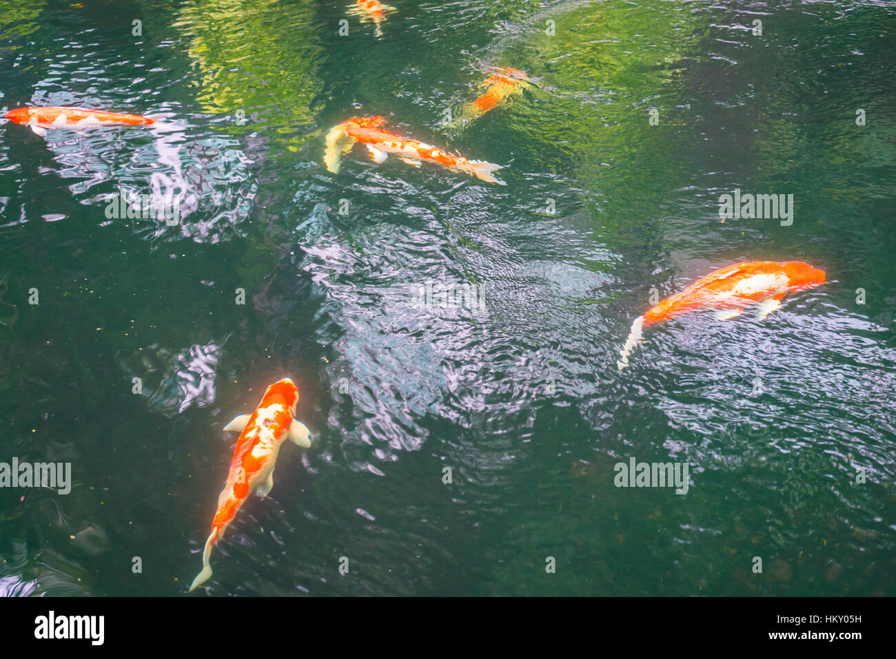 Colorful Koi fish swimming in water Stock Photo, Royalty Free Image ...