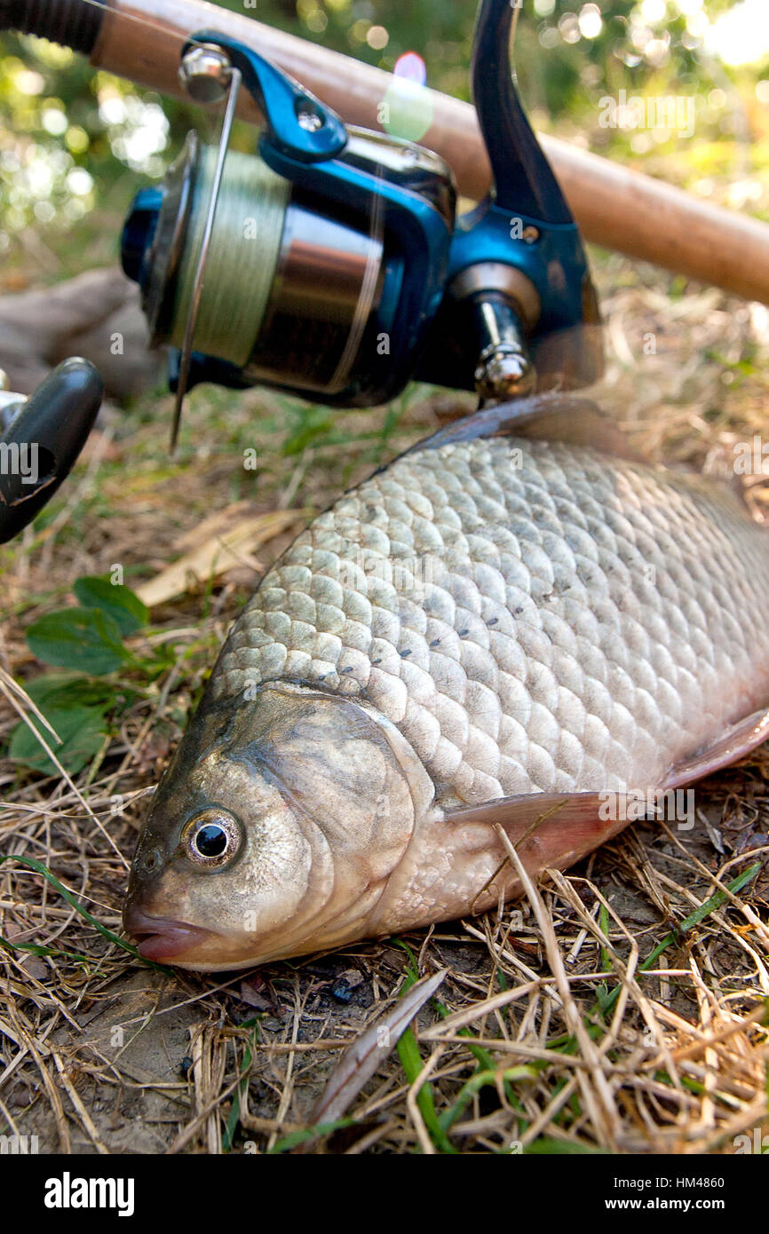 Freshwater fish bait - Catching Freshwater Fish And Fishing Rod With Fishing Reel On Green Grass Crucian Fish Or Carassius On Green Grass