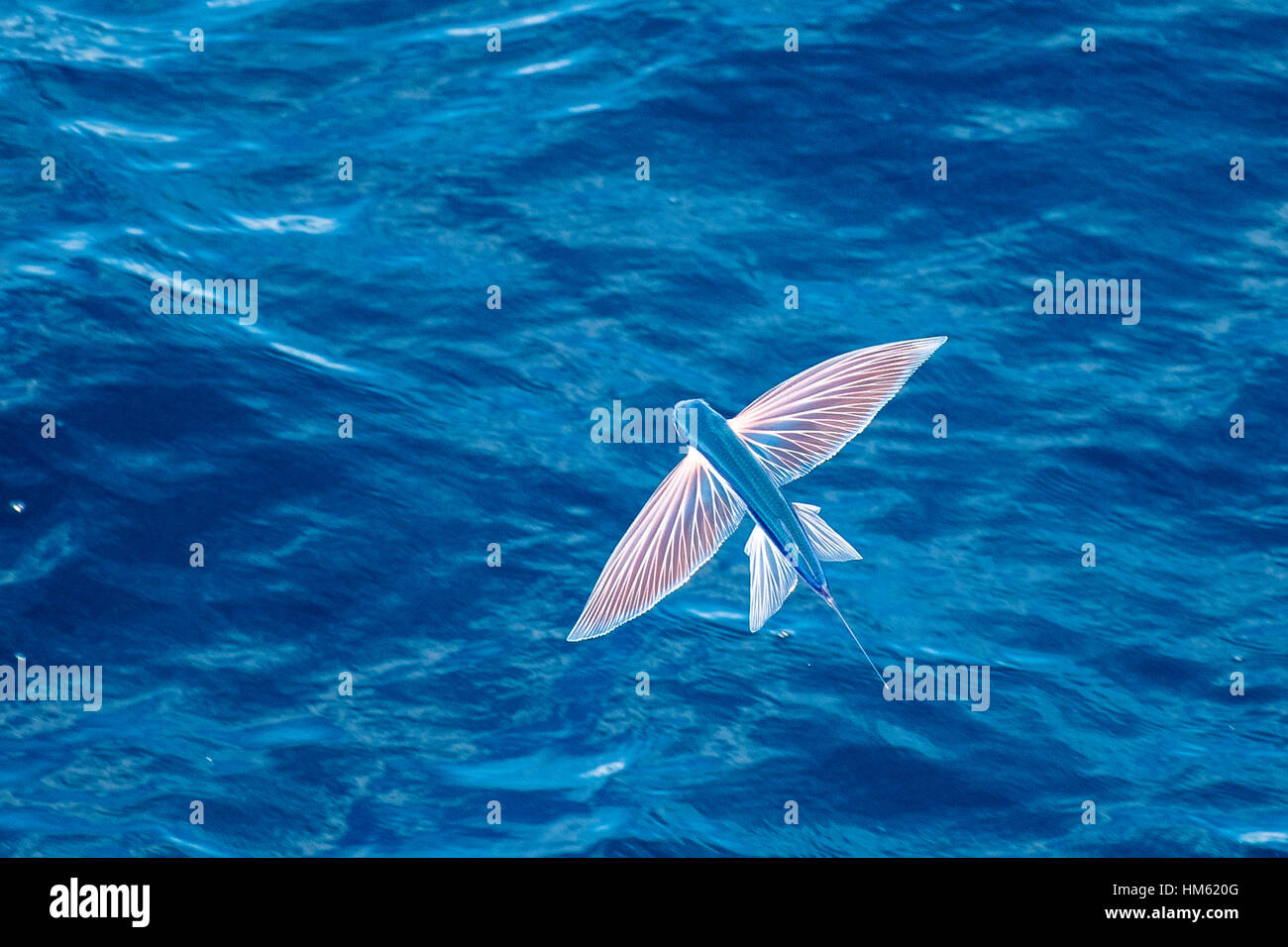 Flying Fish Species In Mid Air Scientific Name Unknown