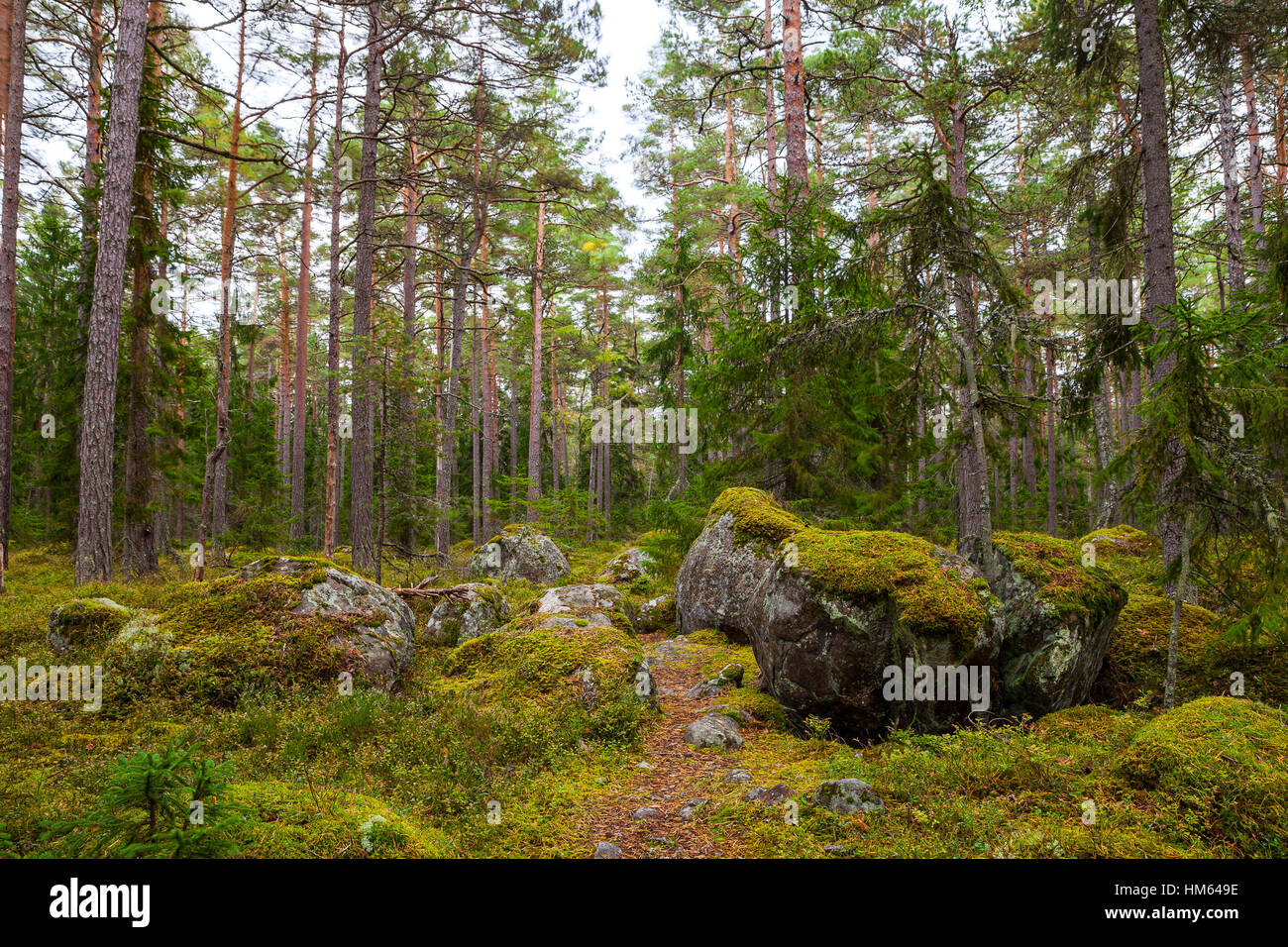 Pine forest with moss covered rocks lahemaa national park estonia