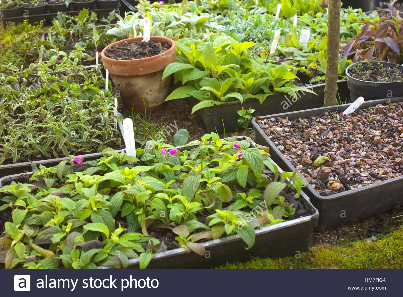 Propagation Bench Part - 44: Cuttings Of Tender Salvia Overwintered On A Heated Propagation Bench