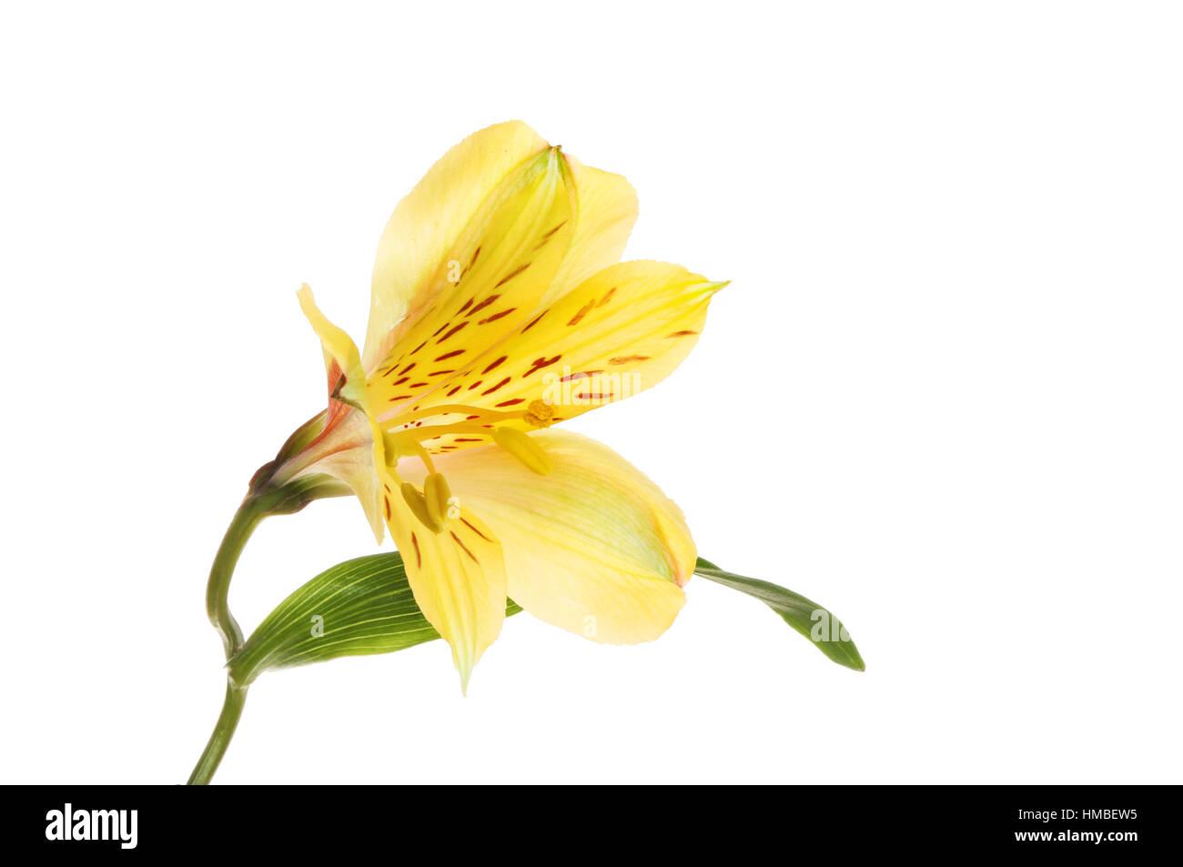 Yellow alstroemeria peruvian lily flower isolated against white yellow alstroemeria peruvian lily flower isolated against white izmirmasajfo Gallery