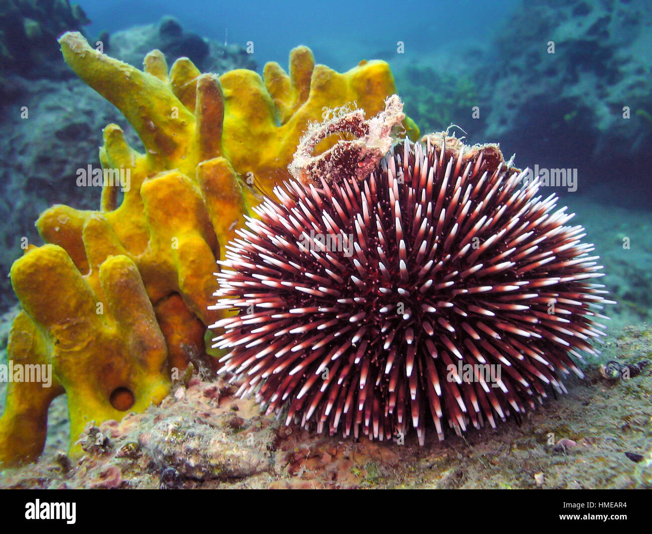 sea urchin deutsch