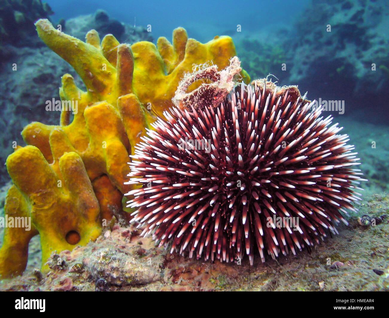 sea urchin deutsch