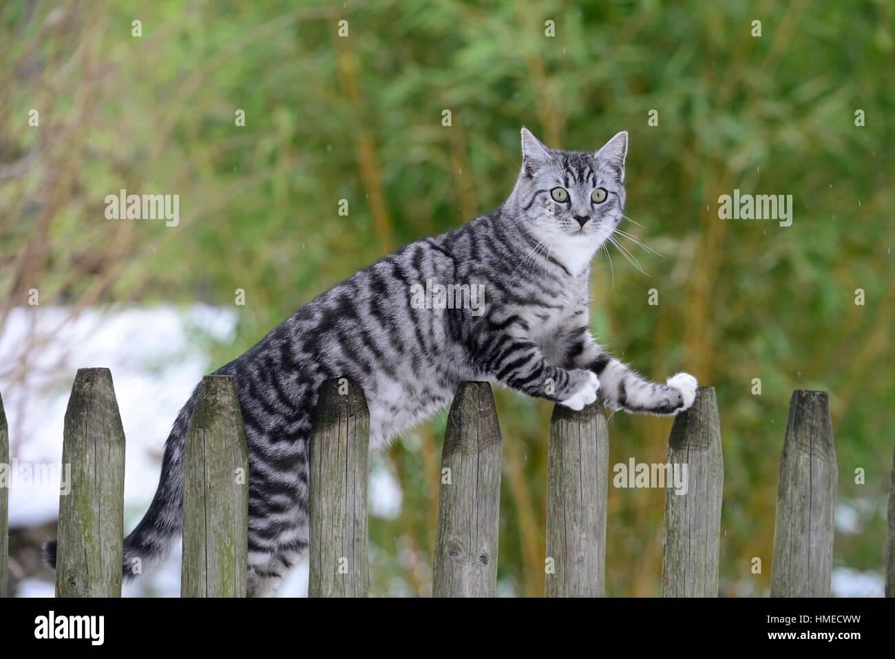 light gray tabby cat sitting on garden fence in winter stock photo