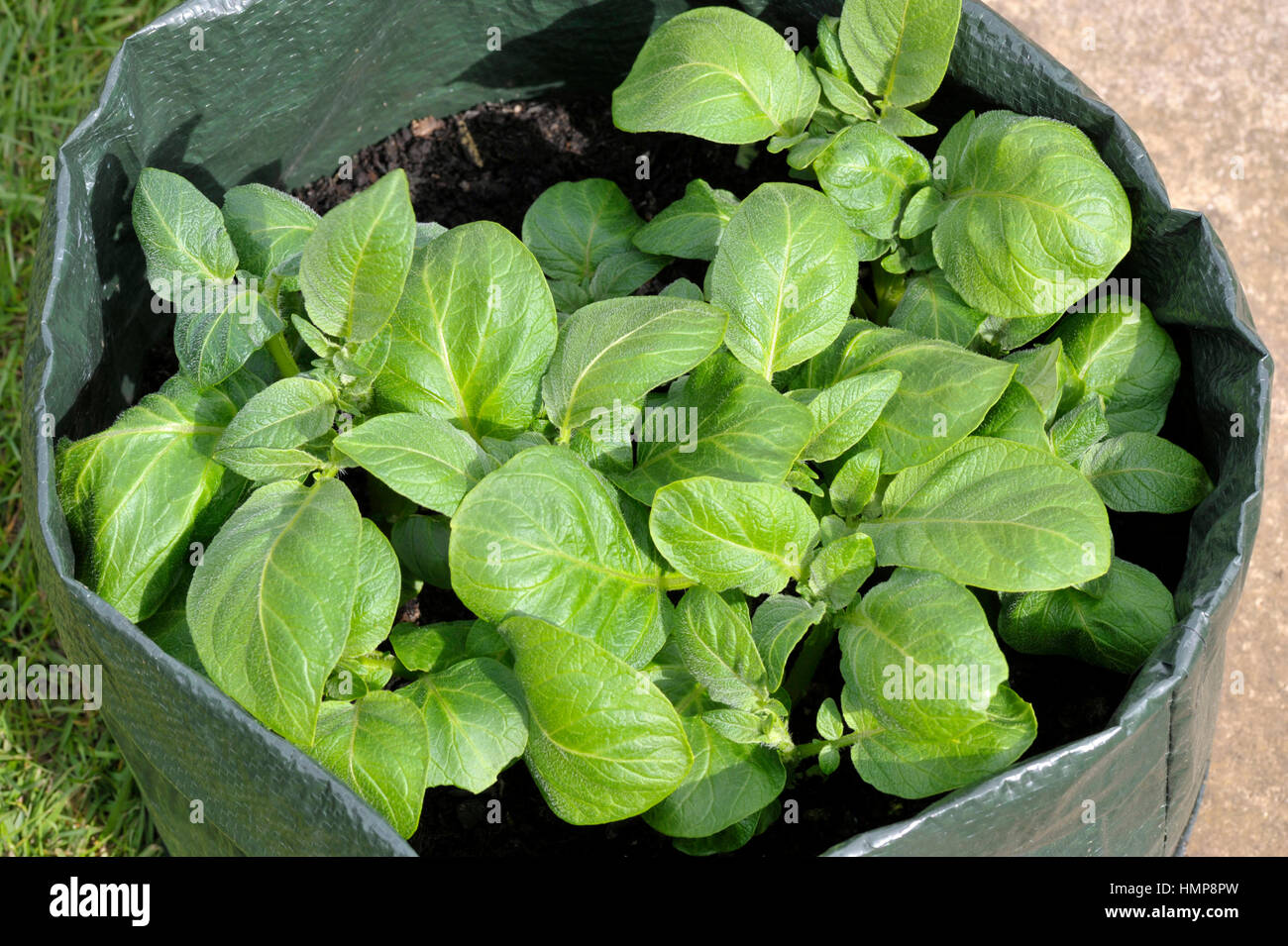 Perfect Potatoes Growing In A Space Saving Patio Bag Or Vegetable Grow Bag Of  Compost. Variety