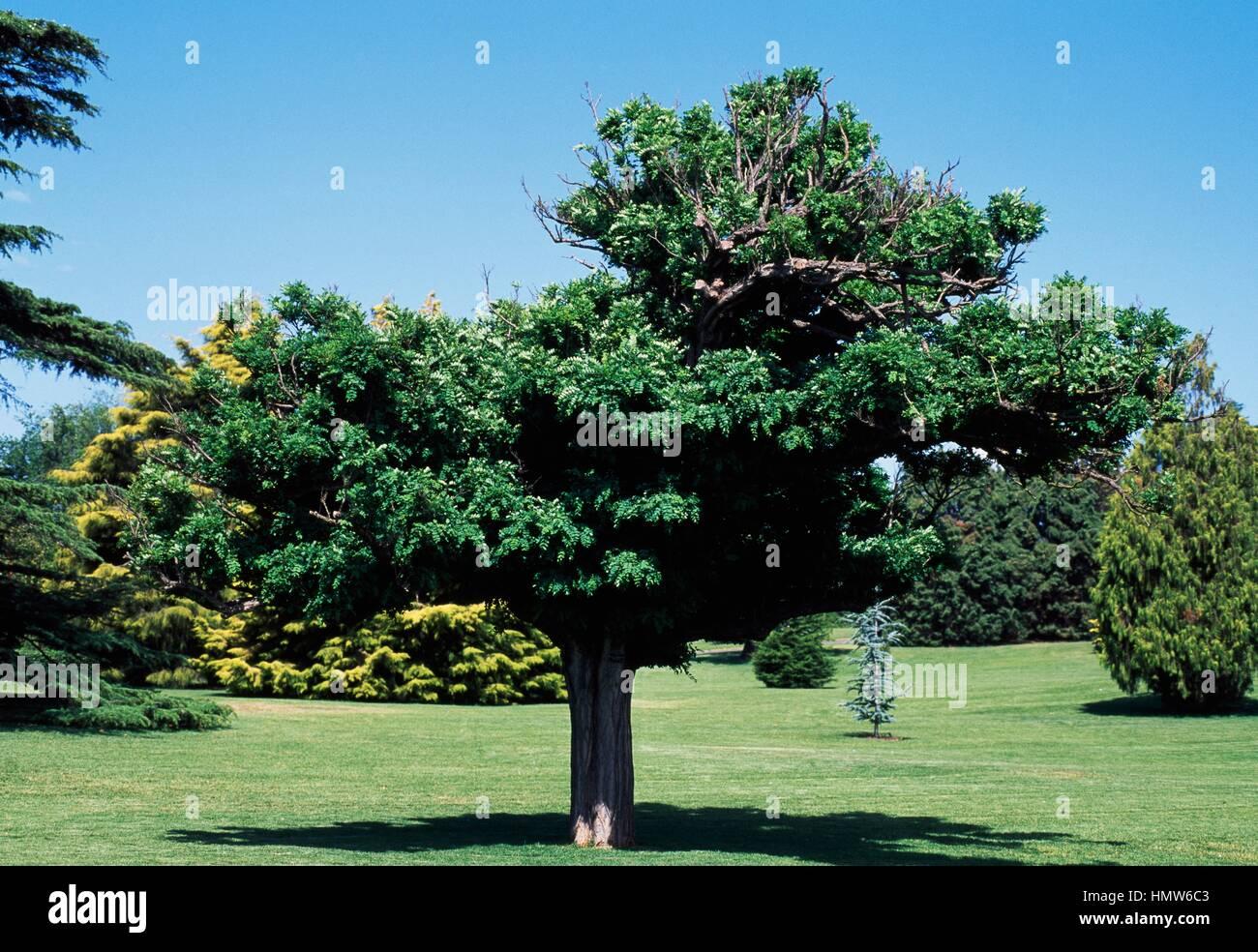 acacia robinia pseudoacacia umbraculifera fabaceae. Black Bedroom Furniture Sets. Home Design Ideas