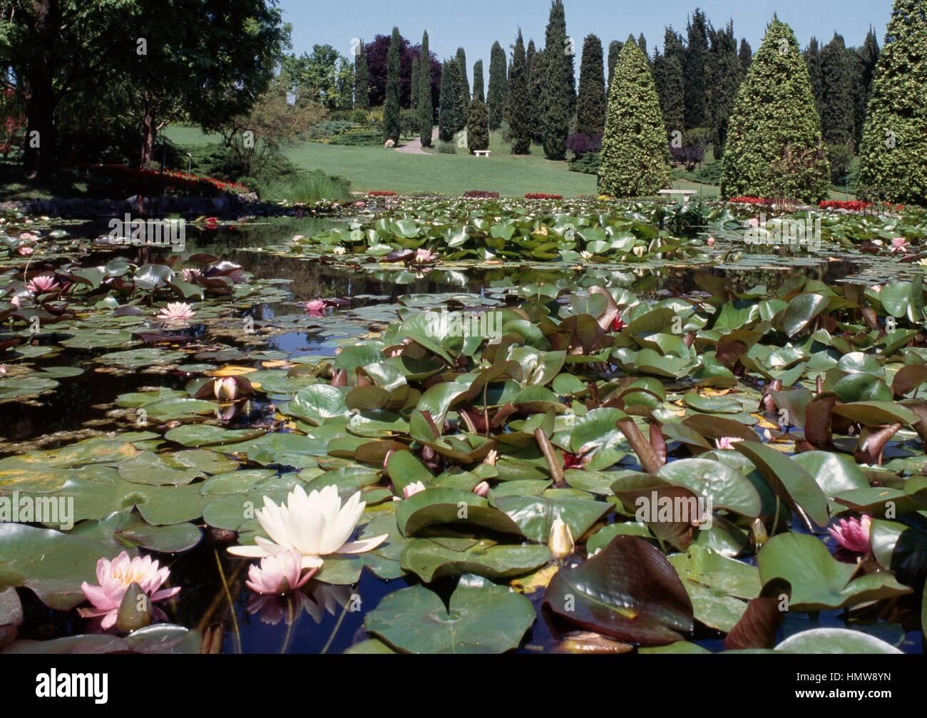 Blooming water lilies parco giardino sigurta 39 valeggio sul mincio stock photo royalty free - Parco giardino sigurta valeggio sul mincio vr ...
