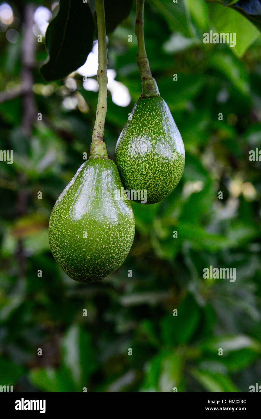 kenya green fruit of avocado tree kenia gruene frucht des avocado stock photo royalty free. Black Bedroom Furniture Sets. Home Design Ideas
