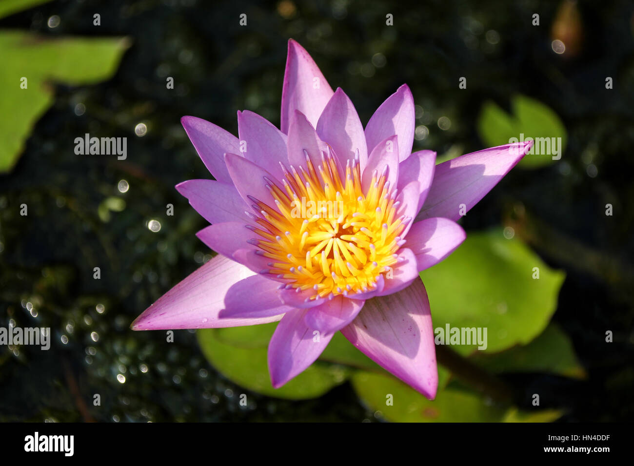 Pink and yellow lotus flower in kerala india stock photo royalty pink and yellow lotus flower in kerala india dhlflorist Images