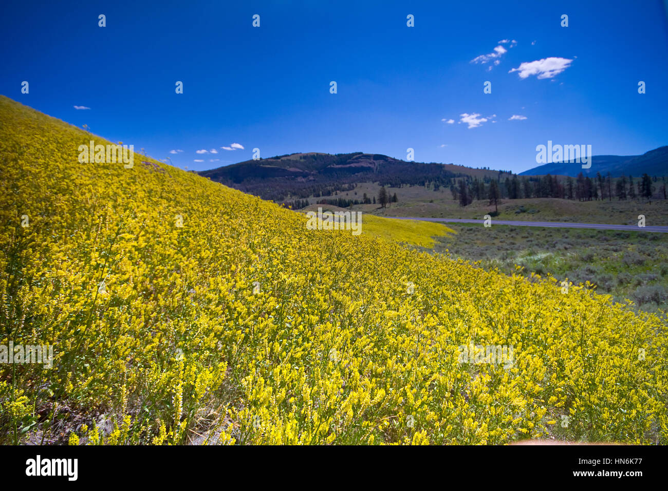 Yellow spring flowers blooming in yellowstone national park stock photo yellow spring flowers blooming in yellowstone national park wyoming usa dhlflorist Choice Image