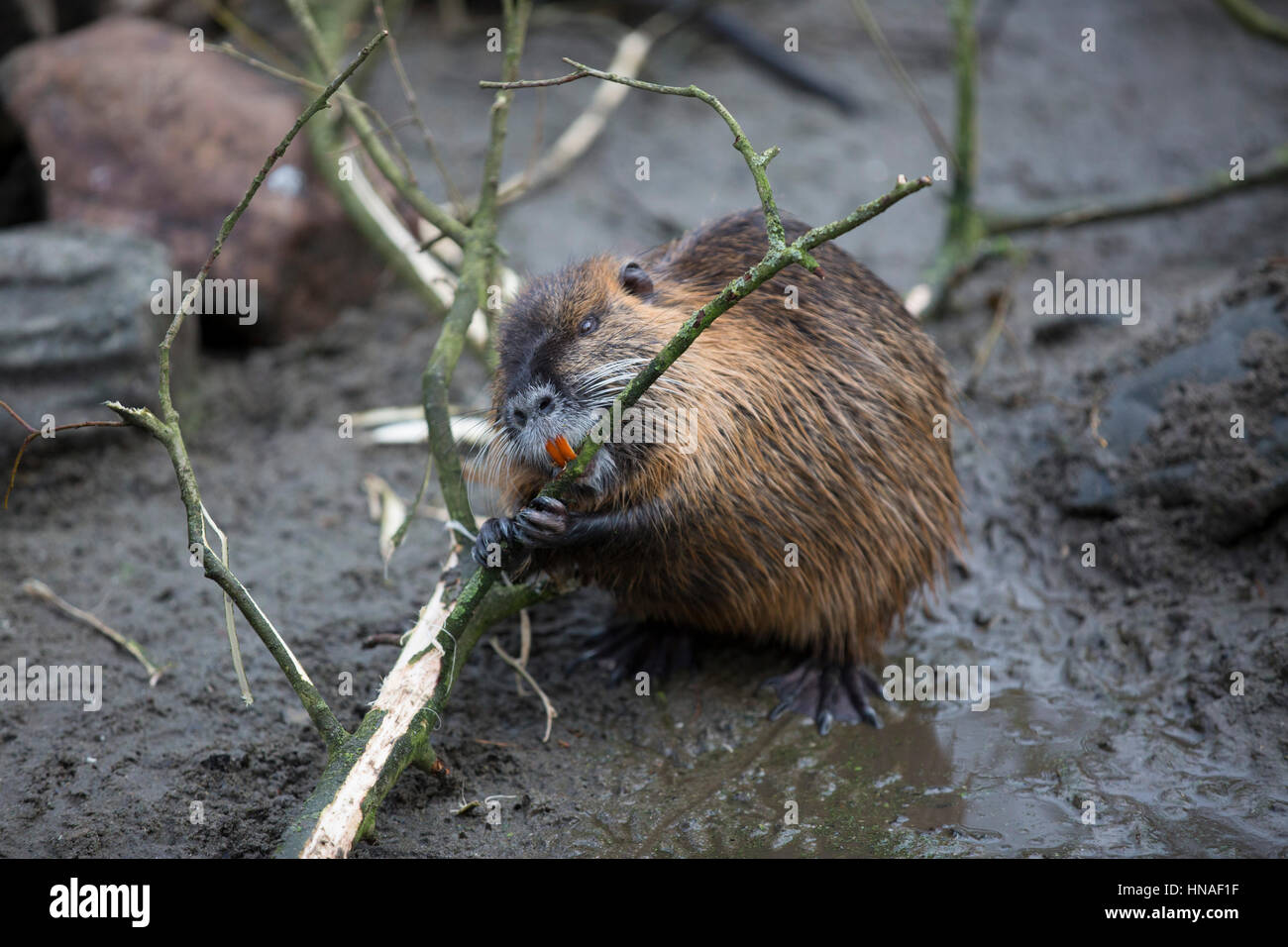 Beaver Chewing Tree - Bing images