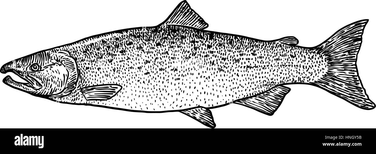 Salmon fish drawings