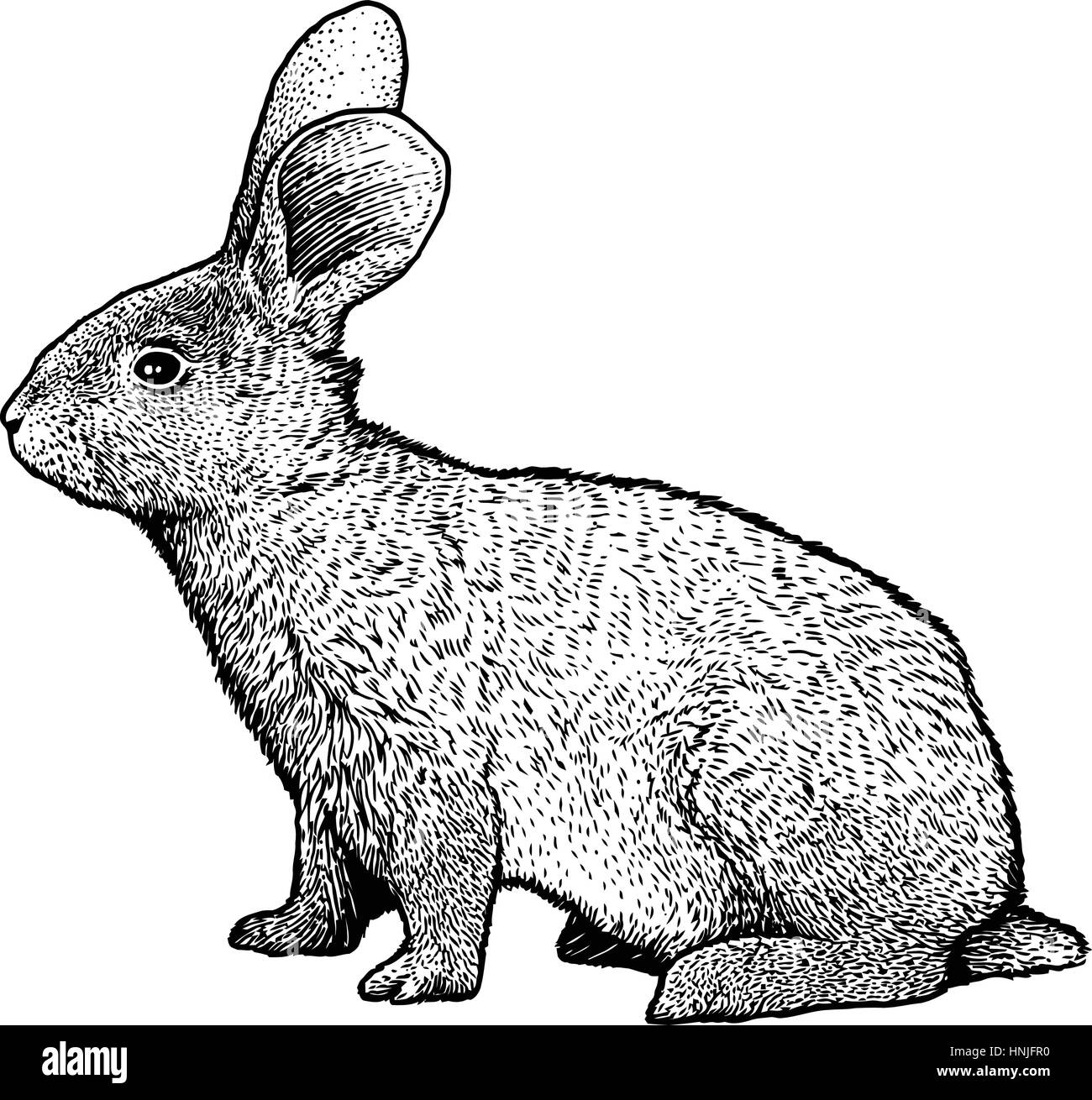 Rabbit illustration drawing engraving line art realistic Stock