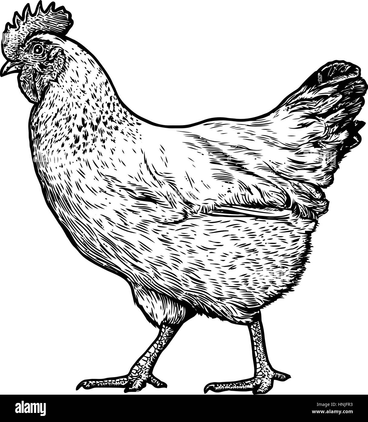 chicken illustration drawing engraving line art realistic
