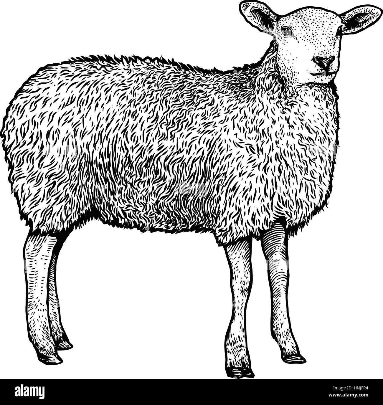 Sheep Illustration Drawing Engraving Line Art Realistic