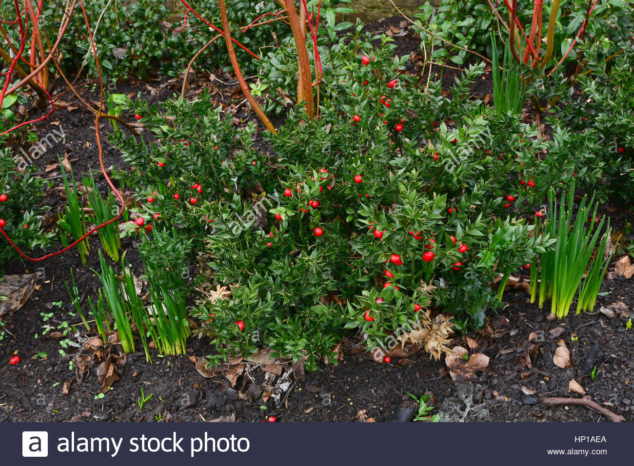 winter border with ruscus aculeatus hermaphroditum in kew stock