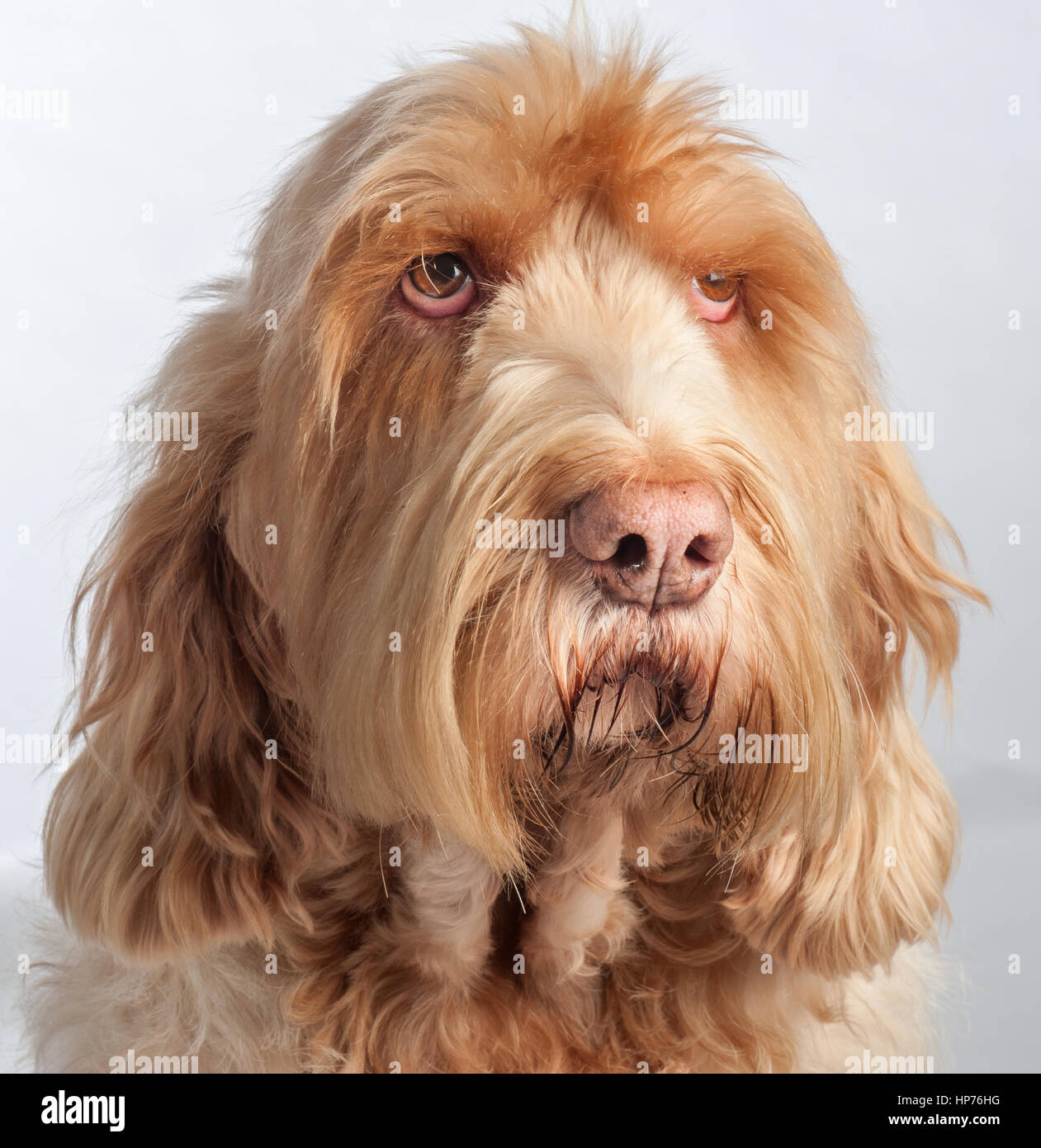 Image of italian spinone brown roan young puppy blue sitting cute - Spinone Dog Portrait Stock Image