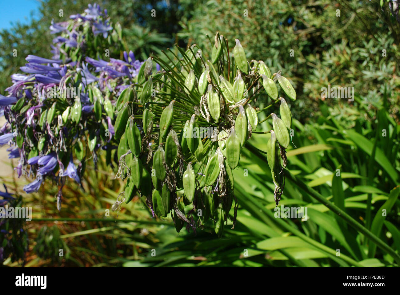 Lily of the nile agapanthus praecox subsp praecox azure bloom lily of the nile agapanthus praecox subsp praecox azure bloom blue flowers izmirmasajfo Images