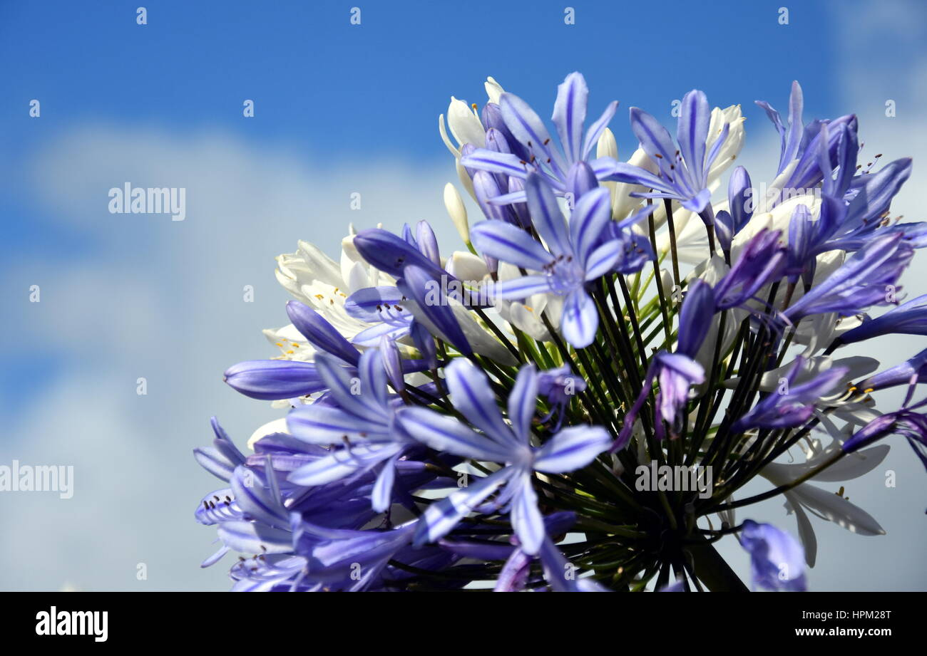 Quater of lily of the nile also called african blue lily flower in quater of lily of the nile also called african blue lily flower in purple blue shade agapanthus africanus in australia blue agapanthus flowering izmirmasajfo Gallery