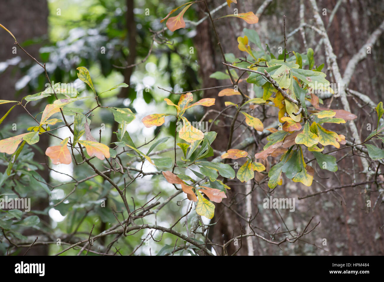 close up of oak leaves turning in the autumn season stock photo