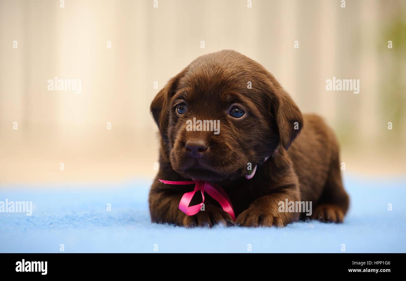How to Buy a Chocolate Labrador forecasting