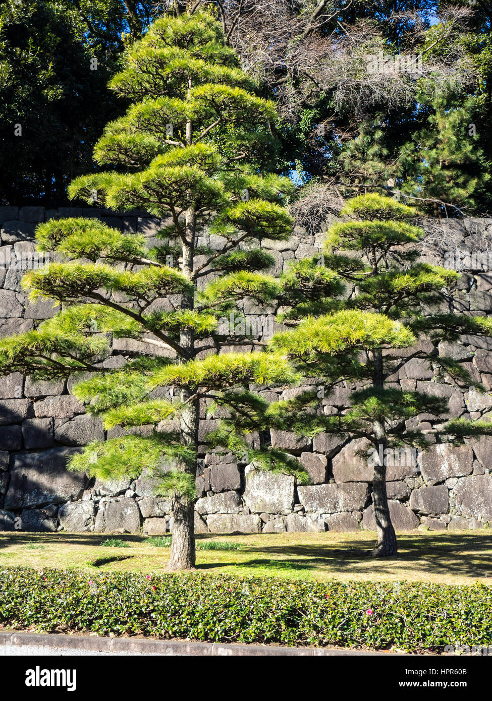 Japanese black pine trees in front of a granite stone wall in the
