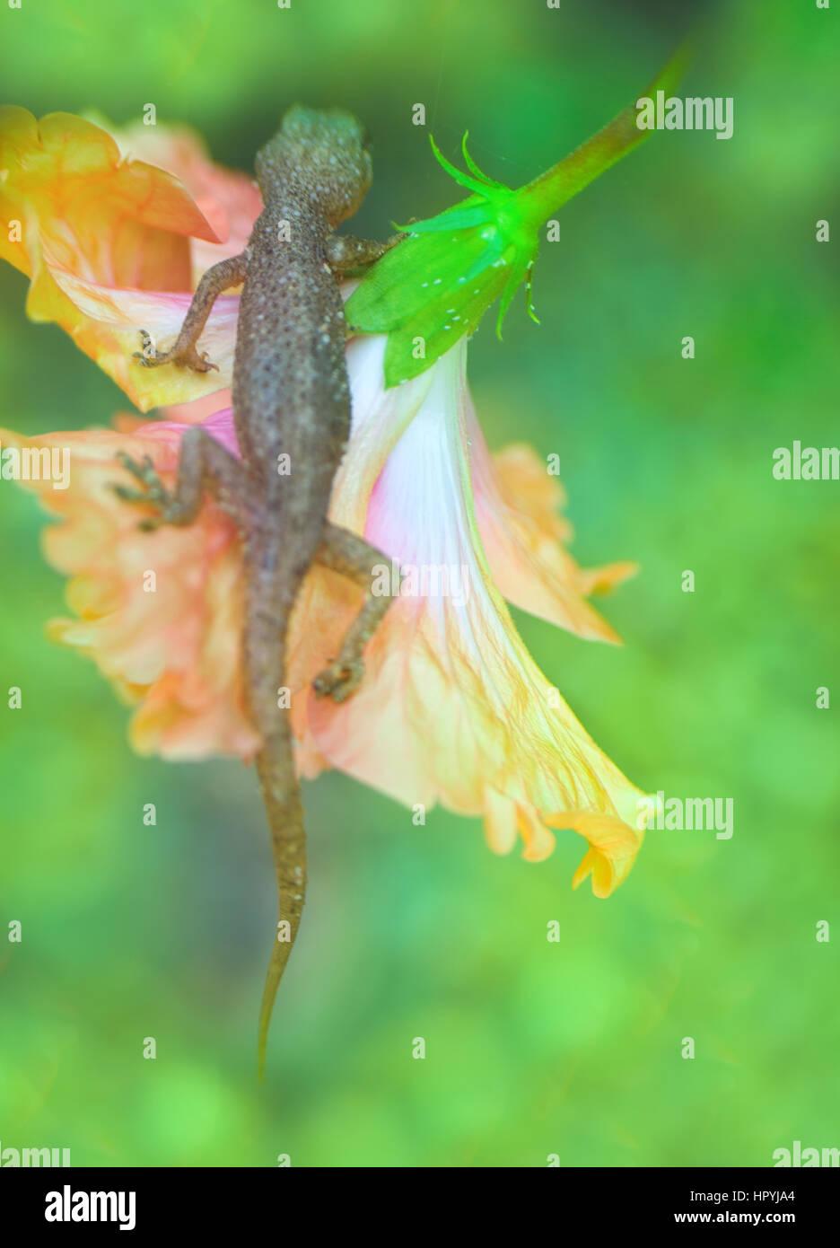 tropical house gecko on red flower like cape honeysuckle. india