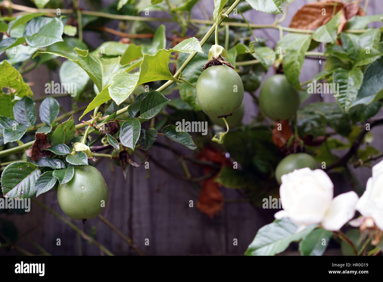 Passion fruit vine growing in a home garden stock photo for Gardening is my passion