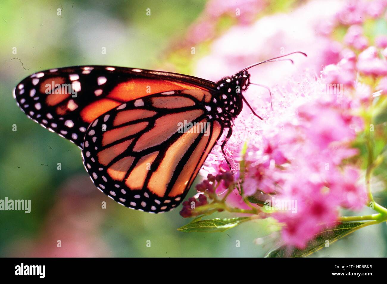 A Monarch Butterfly Collects Nectar From A Flower In The Peopleu0027s Garden,  Washington, D.C. Image Courtesy Charles Bryson/USDA, 2014