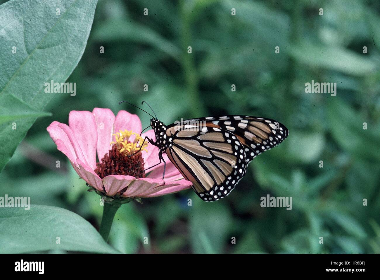 A Monarch Butterfly Collects Nectar From A Flower In The Peopleu0027s Garden,  Washington, D.C. Image Courtesy Jerry Payne/USDA, 2014