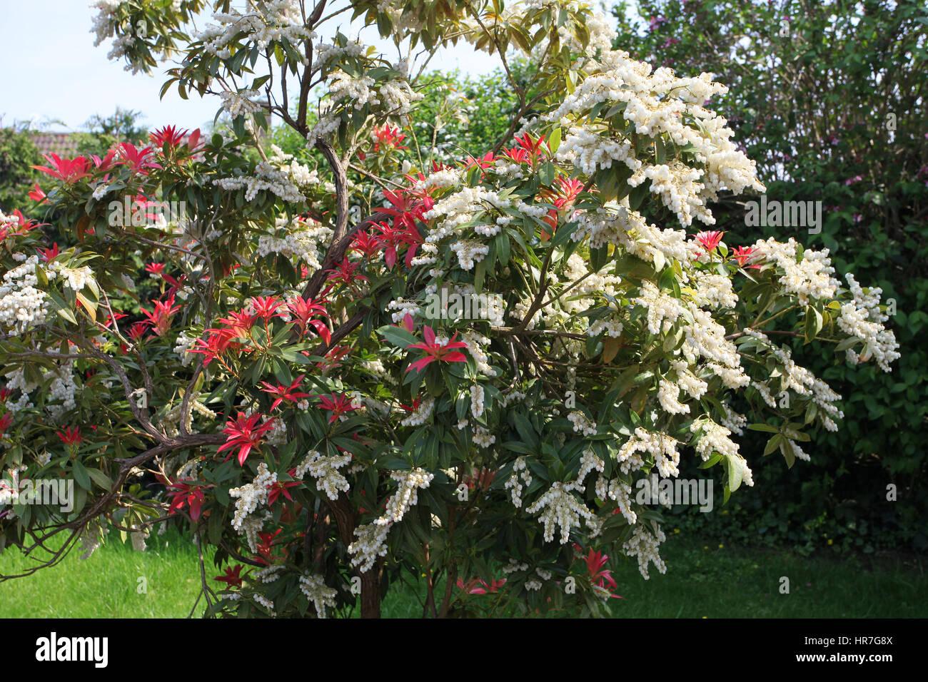 pieris japonica or 39 forest flame 39 in flower in spring. Black Bedroom Furniture Sets. Home Design Ideas