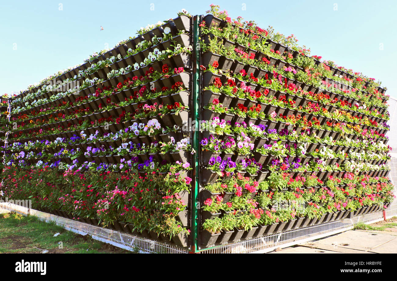 Beautiful flowers blooming in flowerpots look like flower bed stock beautiful flowers blooming in flowerpots look like flower bed attracting human as well as other creature izmirmasajfo